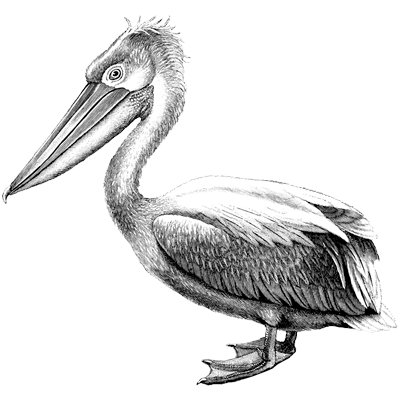 crested pelican