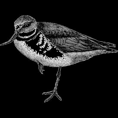 wry-bill (bird)