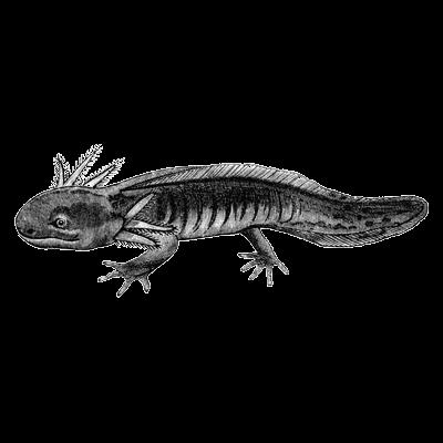 mexican axolotl (salamander)