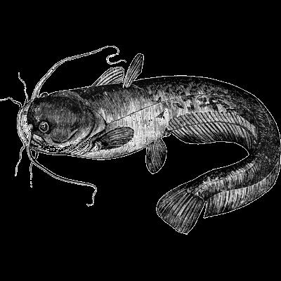 catfish (sheatfish)