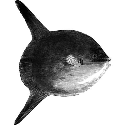 short sunfish